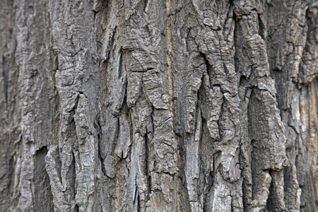 bark carving: Canada Yang bark, closeup of photo