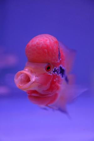 sarcoma: flower horn in blue aquarium, closeup of photo
