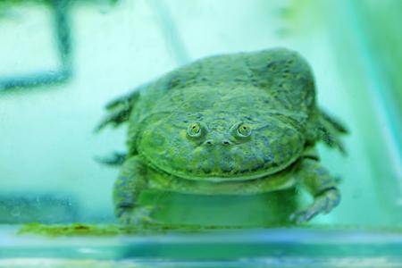arlecchino: rana arlecchino, primo piano di foto Archivio Fotografico