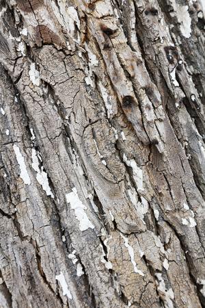the scars: Canada Yang bark, closeup of photo