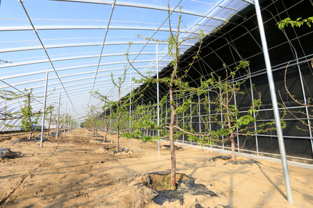 greenhouses: Large cherry in greenhouses, closeup of photo
