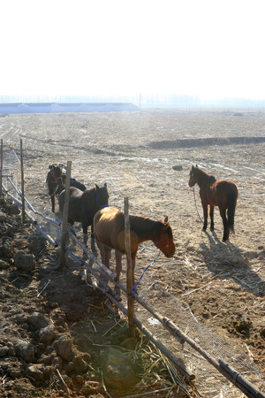 animal husbandry: horses in the fence, closeup of photo