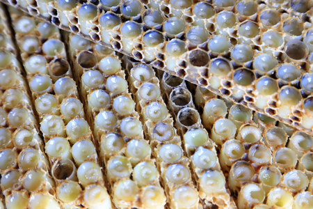 secretion: bee larvae in the nest, closeup of photo