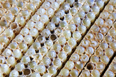 physiological: bee larvae in the nest, closeup of photo