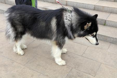 malamute: alaskan malamute, closeup of photo