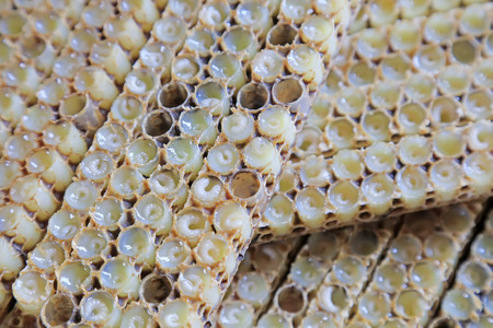 bee larvae in the nest, closeup of photo