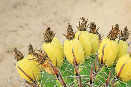 stabbing: Cactus plants  in a garden Stock Photo