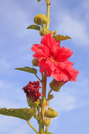 hollyhock: hollyhock in a garden, closeup of photo Stock Photo