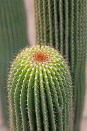 stabbing: Cactaeous plants in a garden