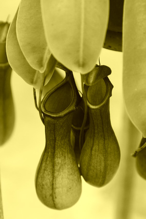 nepenthes: Nepenthes, closeup of photo