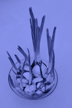glass containers: Daffodil bulb in glass containers, closeup of photo Stock Photo