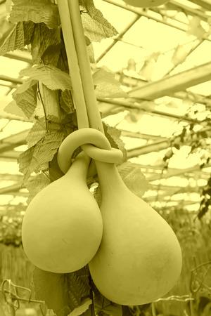 deformation gourd, closeup of photo