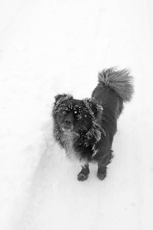 Black dog in the frost and snow, closeup of photo Stock Photo