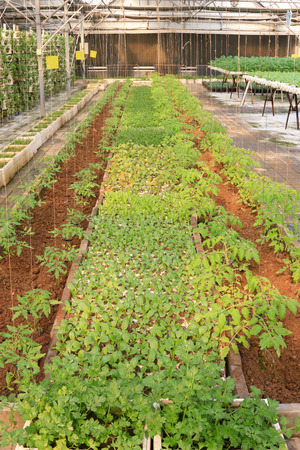 greenhouses: Vegetables in greenhouses