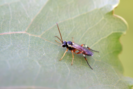 ichneumon on plant in the wild Stock Photo