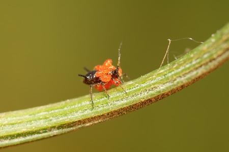 Tetranychus cinnabarinus on plant in the wild Stock Photo