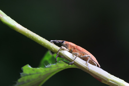 Lixus amurensis Faust on plant in the wild Stock Photo