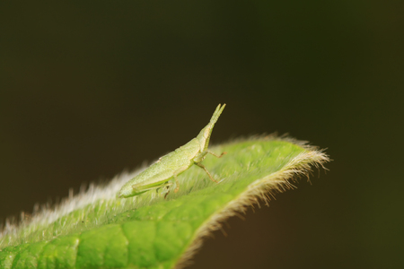 Atractomorpha sinensis Bolvar on plant in the wild
