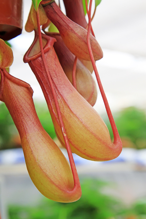 nepenthes: common nepenthes