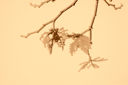 platane branches in the frost and snow, closeup of photo