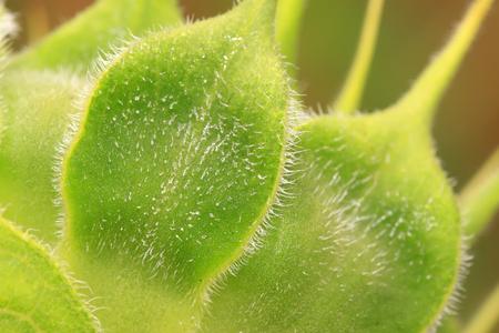 Sunflower calyx Stock Photo