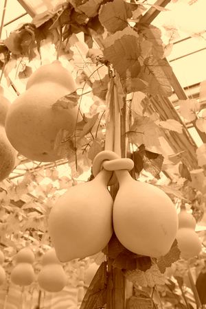 deformation gourd, closeup of photo