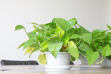 scindapsus aureus, een soort bladbloemen Stockfoto