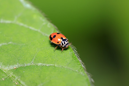 beneficial insect: Hippodamia variegata on plant in the wild Stock Photo