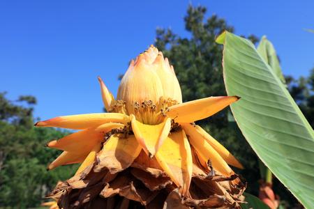sepals: Ensete lasiocarpum