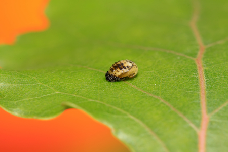 Harmonia axyridis on plant in the wild