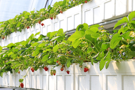 Stereo planting Strawberry Stok Fotoğraf