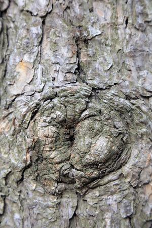 Pine bark scar