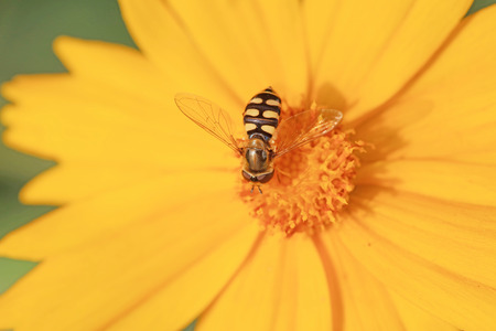Syrphidae on flower in the wild