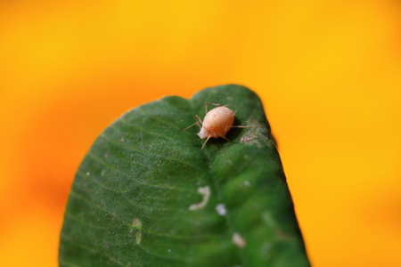 Aphid shell