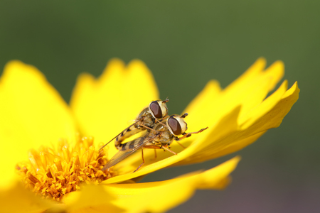 Syrphidae on plant in the wild