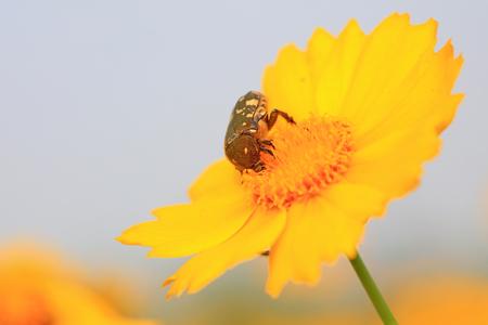 Scarabs on yellow flower