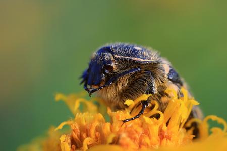 Scarabaeidae close up view