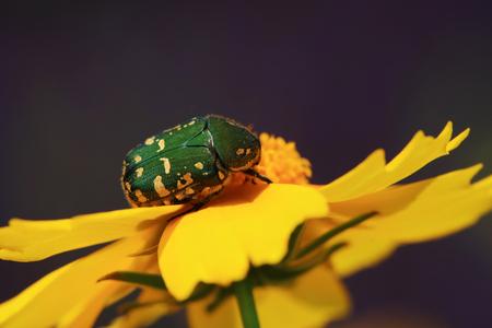 Scarabaeidae on yellow flower