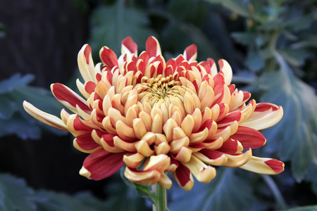 Chrysanthemum close up view