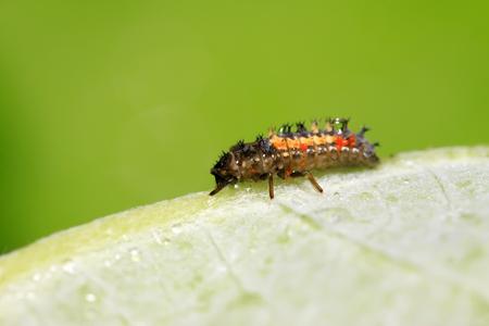 Harmonia axyridis ladybugs on plant in the wild