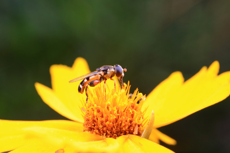 Syrphidae on plant