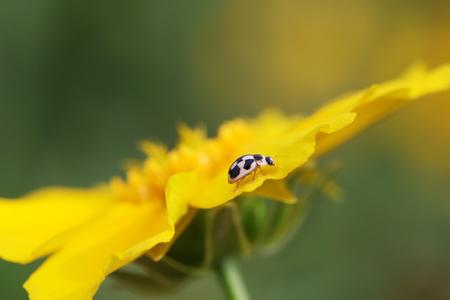 Propylaea japonica close up view