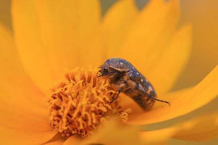 Scarabaeidae Stock Photo