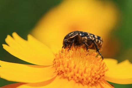 Scarabaeidae on top of flower