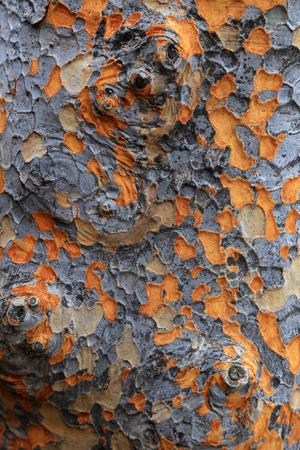 野生の黄斑の樹皮のクローズ アップ表示 写真素材