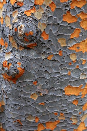 野生の黄斑樹皮のクローズアップビュー 写真素材
