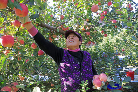 Luannan County - October 30: dwarf red Fuji apple harvest, fruit growers busy picking, Luannan County, Hebei Pronvice, China, October 30, 2017.