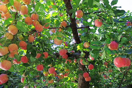 Dwarf red Fuji apple in a farm, China