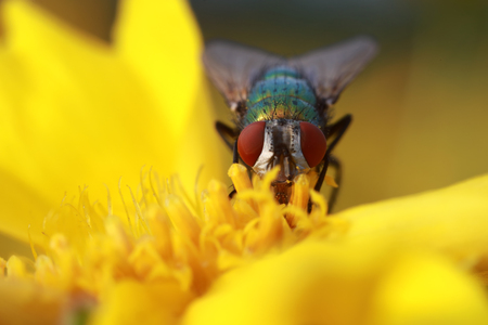 Calliphora vicina on the yellow flower