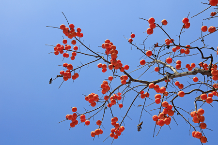 persimmon tree with blue sky